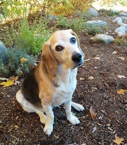 Beagle Dog with Cancer and Arthritis