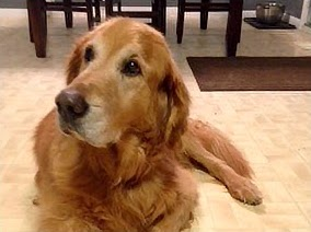 Golden Retriever Dog with Arthritis
