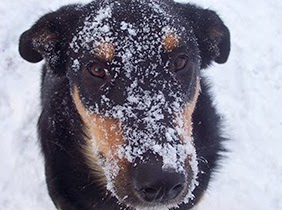 Rottweiller/Collie Mix Dog with Pancreatitis