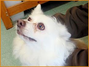 American Eskimo Dog Immune-Mediated Skin Condition