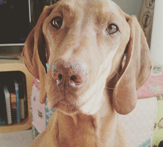 Hungarian Vizsla Dog with Discoid Lupus