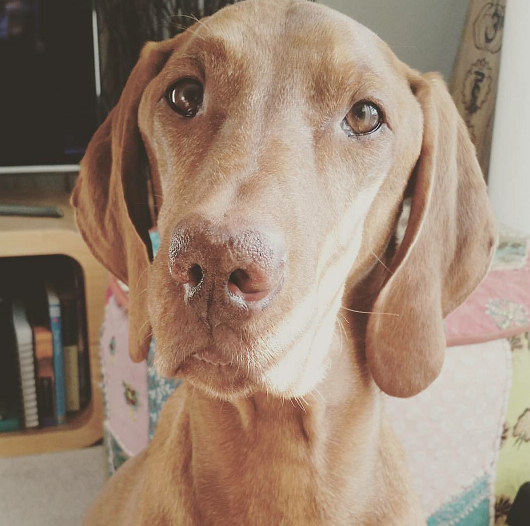 Hungarian Vizsla Dog with Discoid Lupus